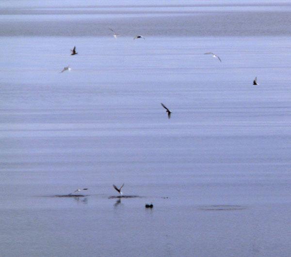 Det går en fiskestim rett ved land og fuglene benytter sjansen til å fråtse.