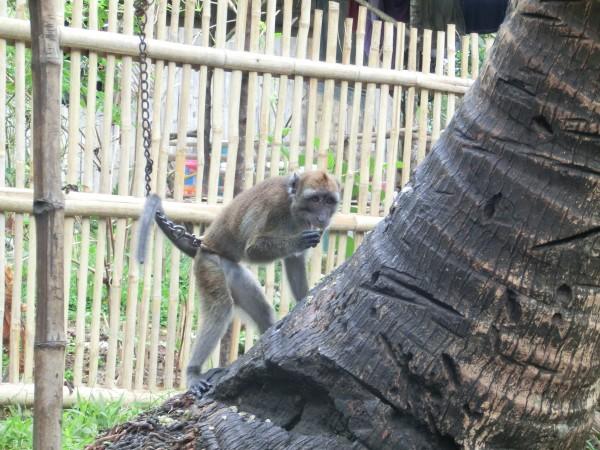 (14:43) Ved en palme på den andre siden av veien var den en apekatt i lenke. Jeg tror den var kjæledyr til de som bodde der