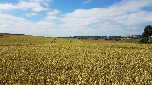 (14:00) Det bugner av korn på åkrene langs ruten.