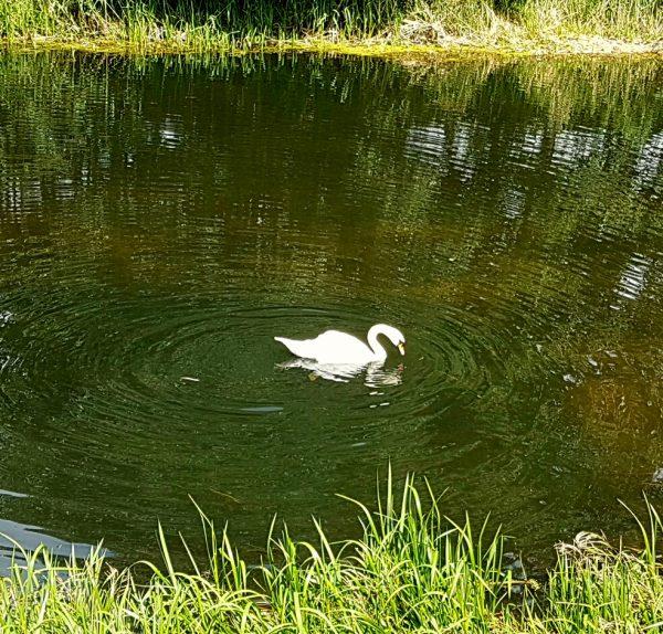 (14:48) En svane svømte rundt i elven.